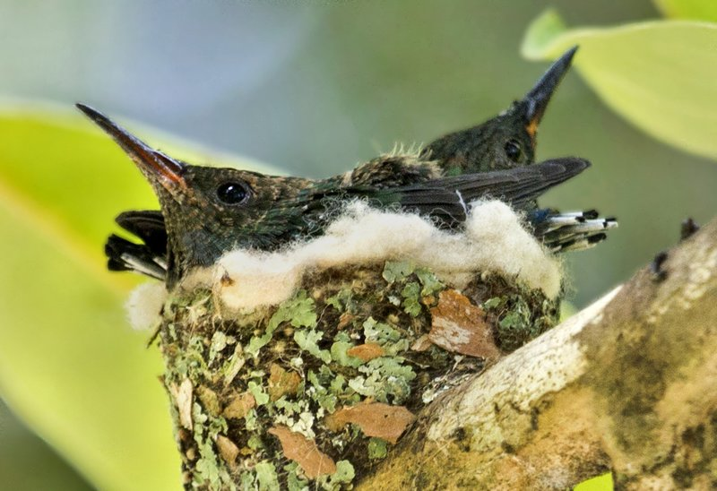 large_Hummingbird_Nest_5.jpg