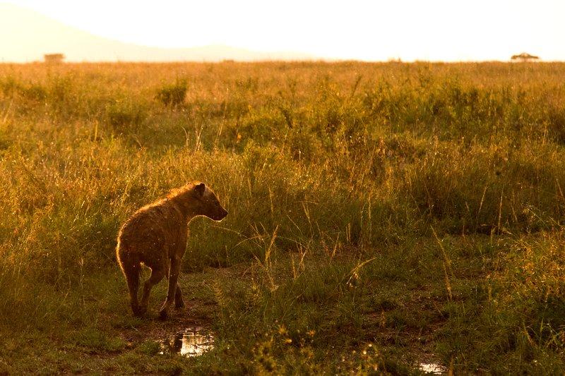 large_Hyena_11-31.jpg
