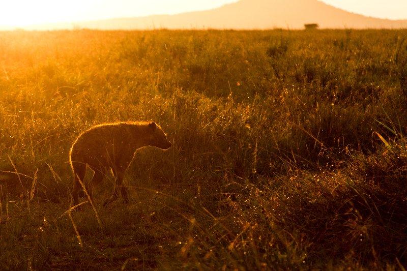 large_Hyena_11-33.jpg