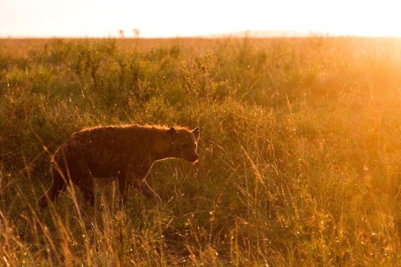 large_Hyena_11-35.jpg