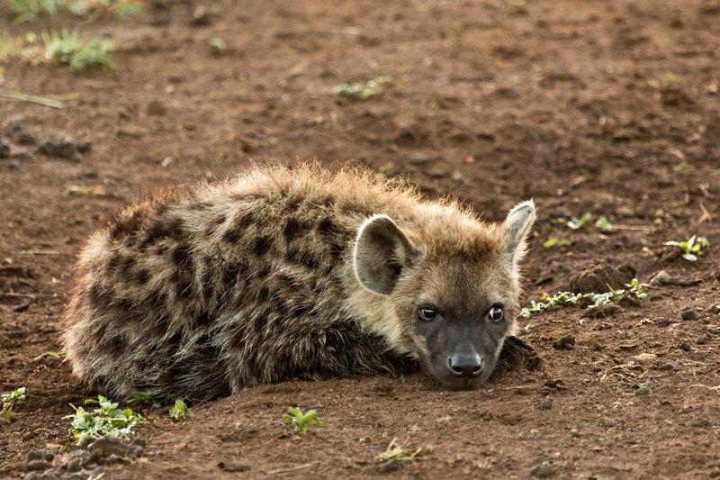large_Hyena_12-14.jpg