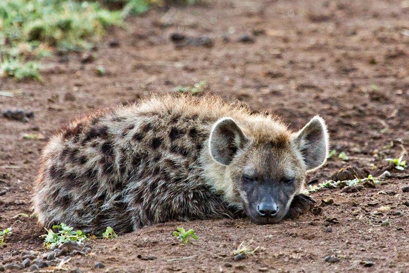 large_Hyena_12-17.jpg