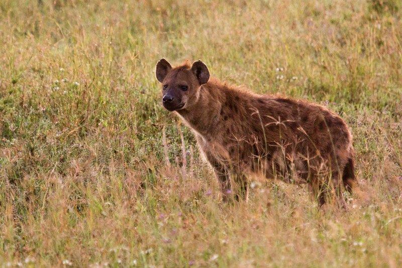 large_Hyena_12-2.jpg