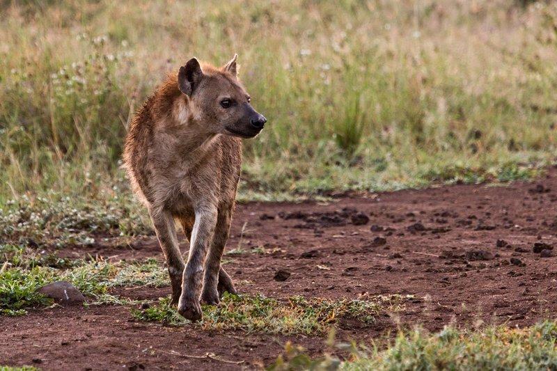 large_Hyena_12-20.jpg