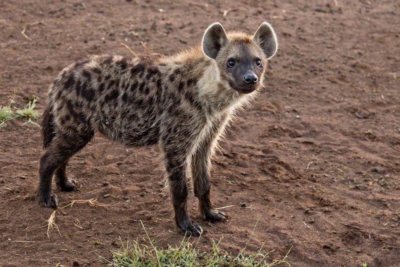 large_Hyena_12-21.jpg