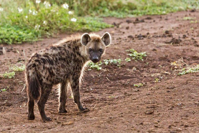 large_Hyena_12-4.jpg