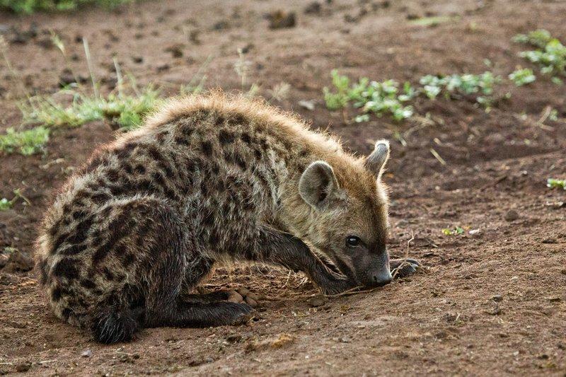 large_Hyena_12-5.jpg