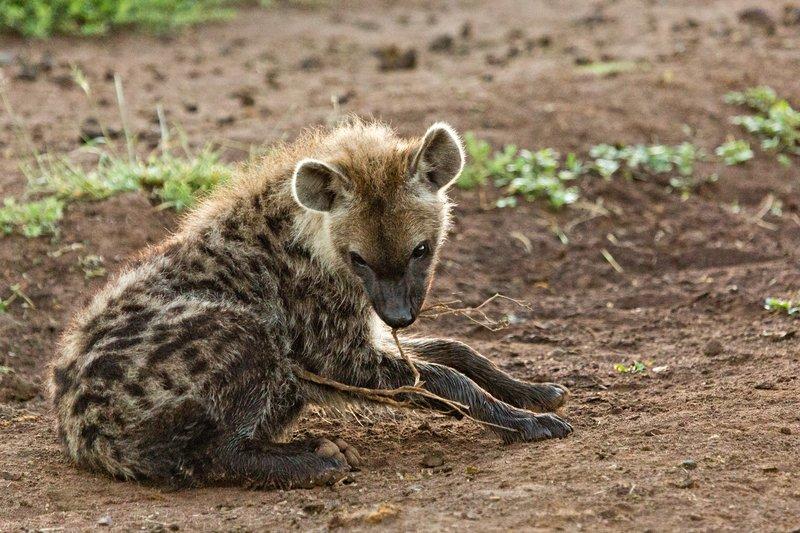 large_Hyena_12-6.jpg
