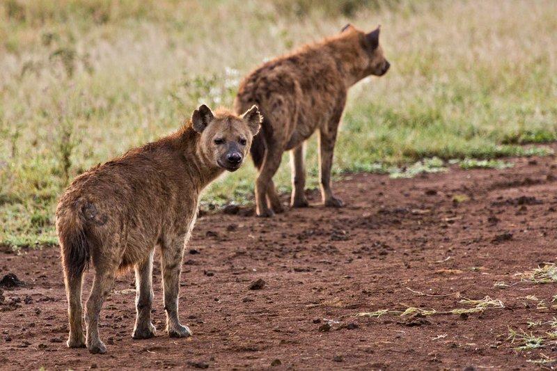 large_Hyena_12-8.jpg