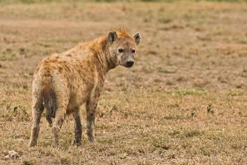 large_Hyena_6.jpg