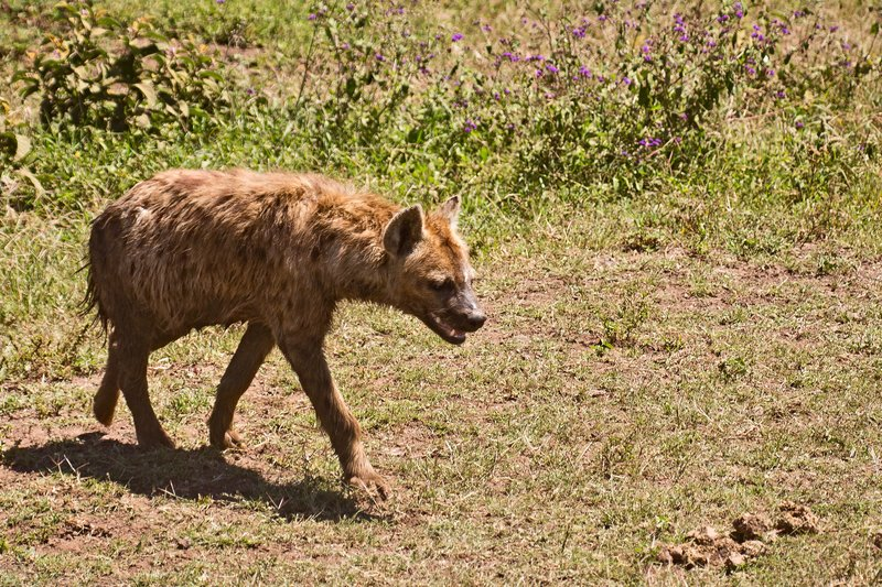 large_Hyena__Spotted_6-1.jpg