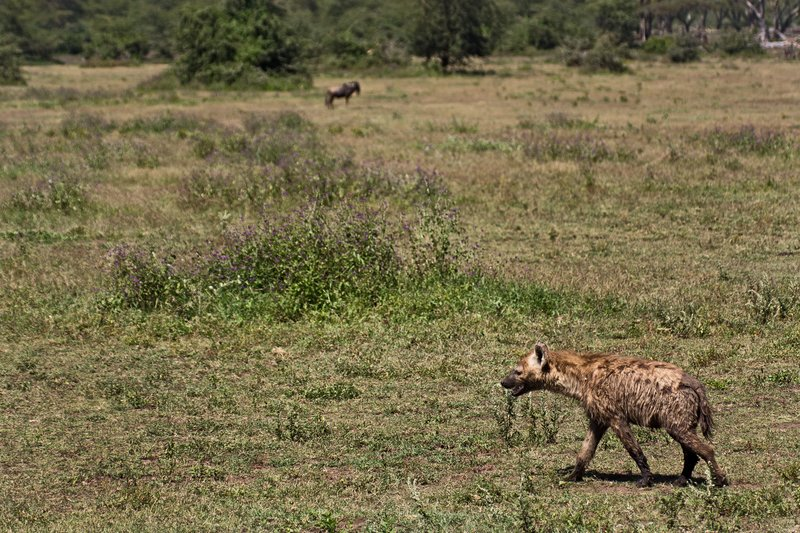 large_Hyena__Spotted_6-9.jpg