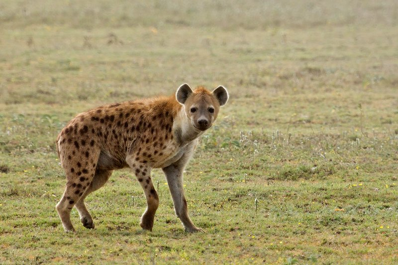 large_Hyena__Spotted_7-10.jpg