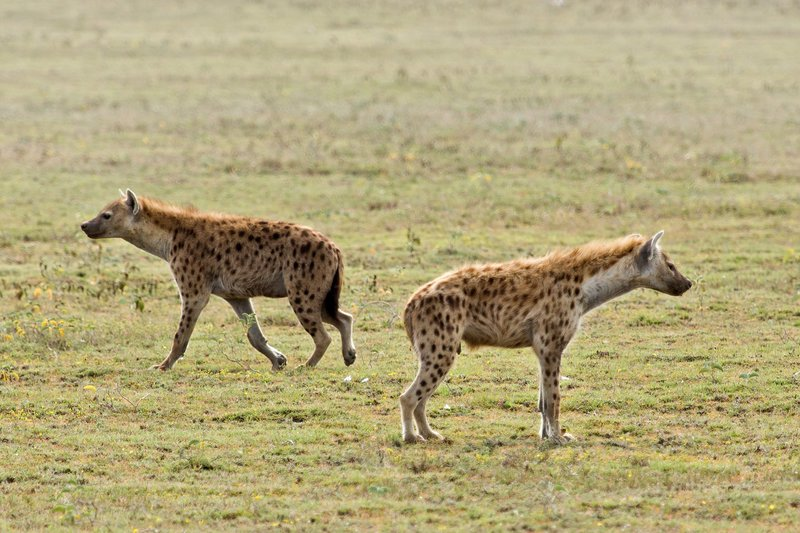 large_Hyena__Spotted_7-16.jpg