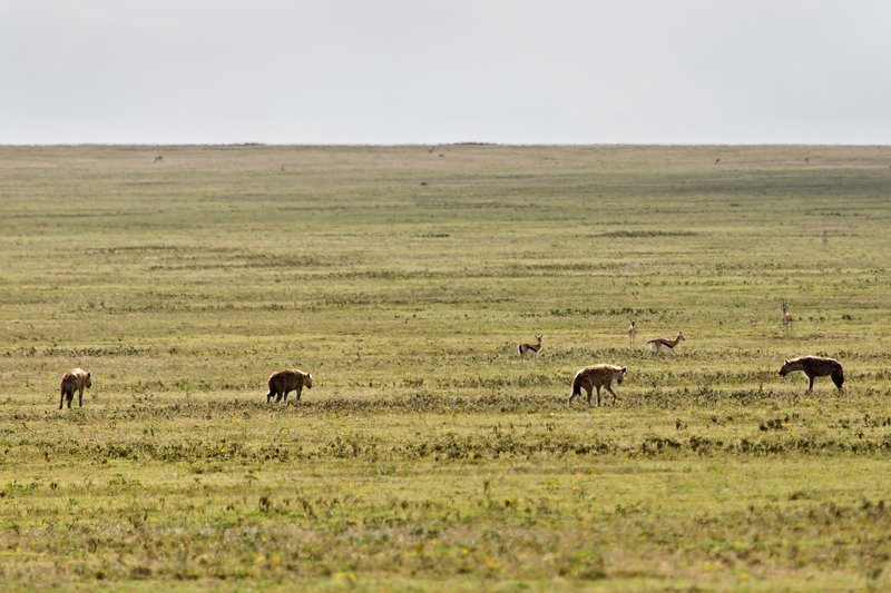 large_Hyena__Spotted_7-19.jpg