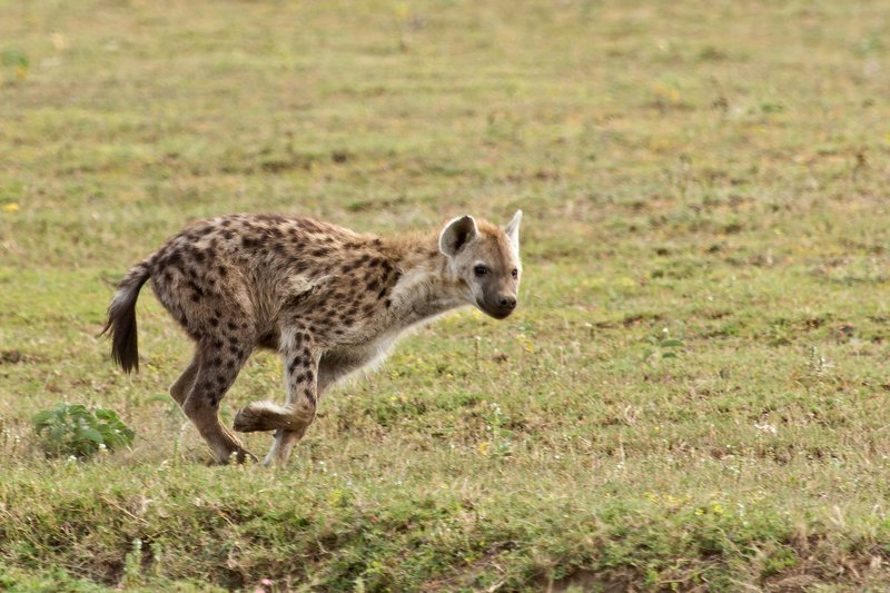 large_Hyena__Spotted_7-2.jpg