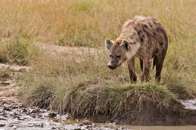 large_Hyena__Spotted_8-1.jpg