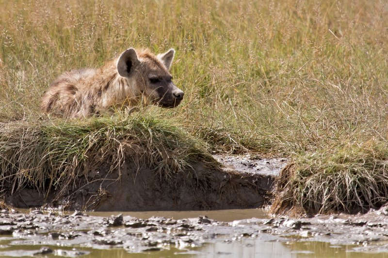 large_Hyena__Spotted_8-2.jpg