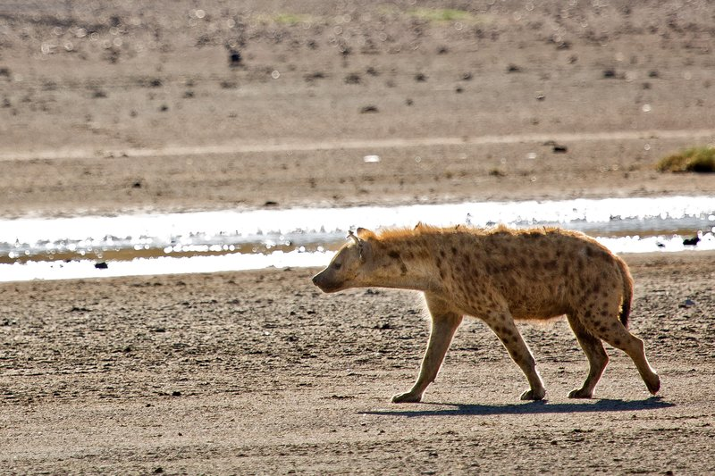 large_Hyena__Spotted_9-2.jpg