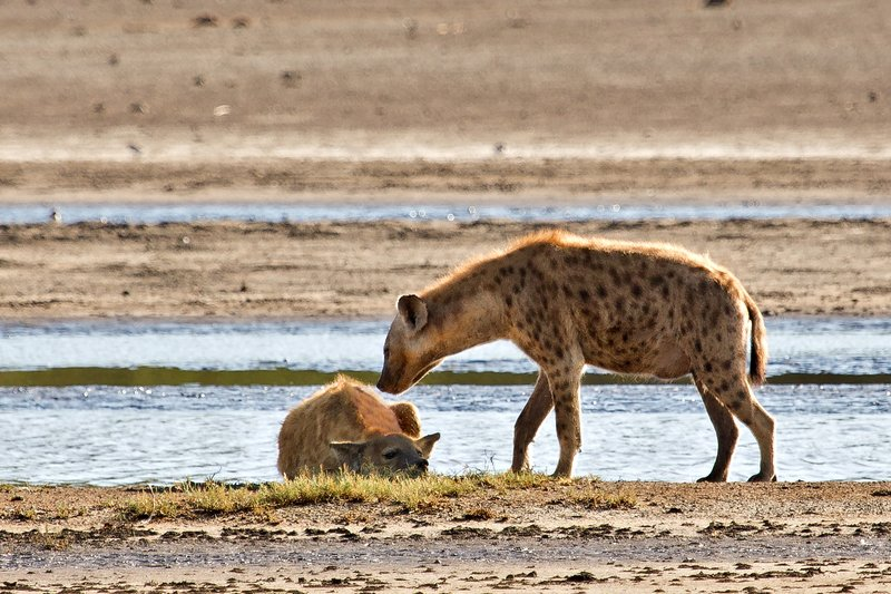 large_Hyena__Spotted_9-4.jpg