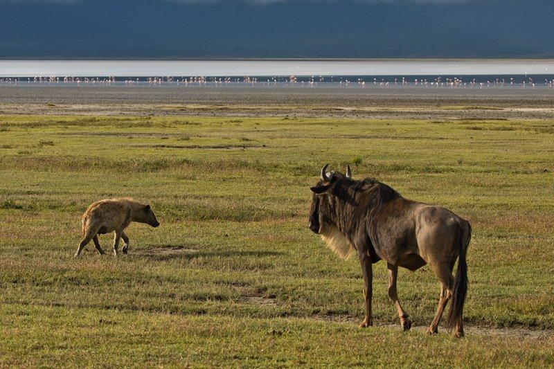 large_Hyena_and_Wildebeest_1.jpg