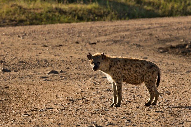 large_Hyenas_22.jpg