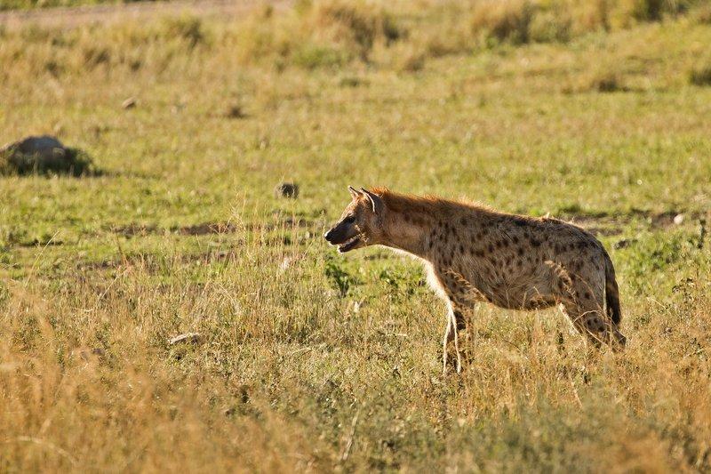 large_Hyenas_25.jpg
