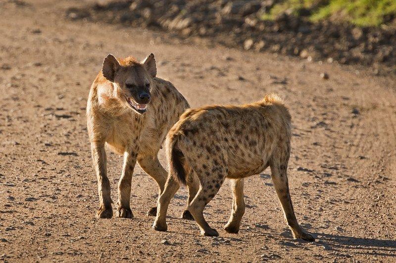 large_Hyenas_27.jpg
