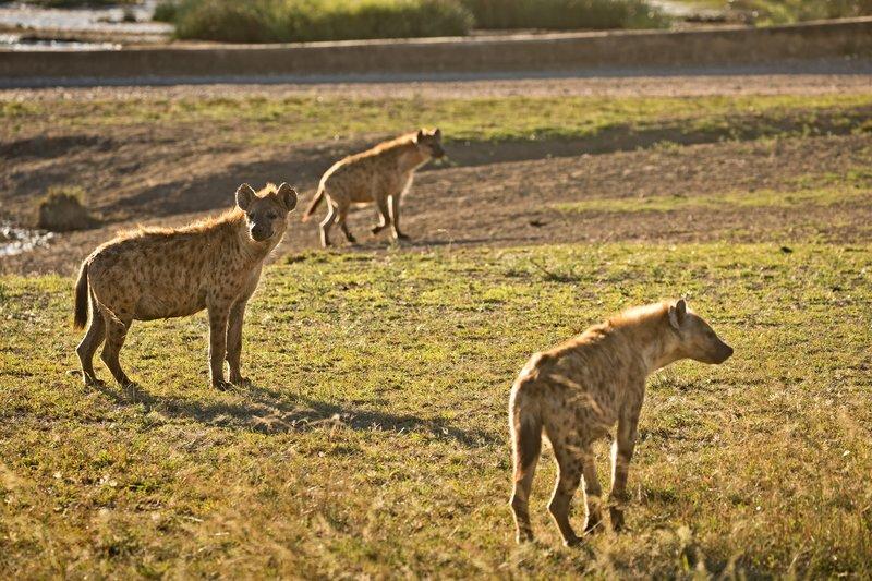 large_Hyenas_32.jpg