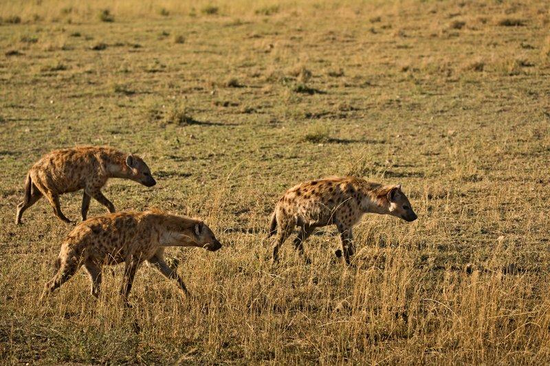 large_Hyenas_43.jpg