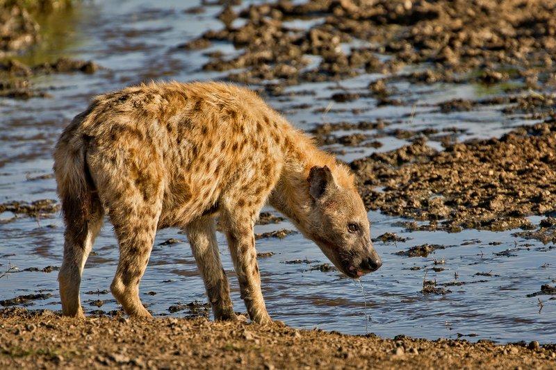 large_Hyenas_55.jpg