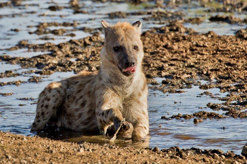 large_Hyenas_57.jpg