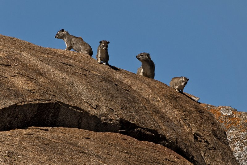 large_Hyrax__Rock_1.jpg