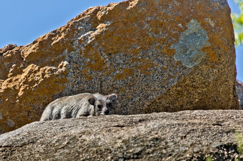 large_Hyrax__Rock_10-1.jpg