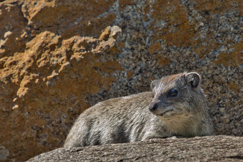 large_Hyrax__Rock_10-2.jpg