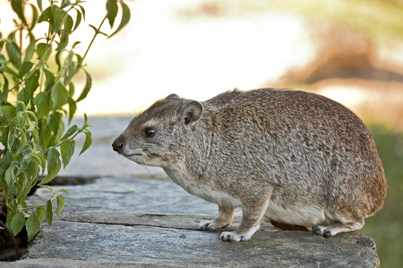 large_Hyrax__Rock_2.jpg