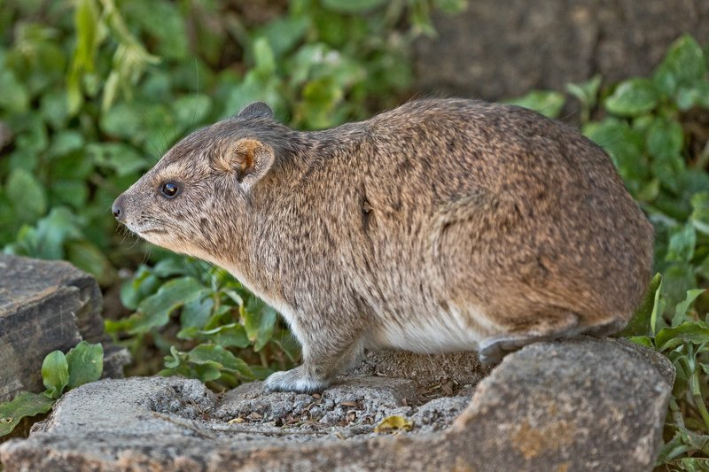 large_Hyrax__Rock_3.jpg