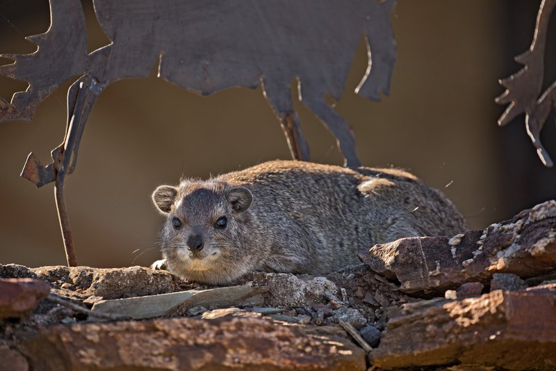large_Hyrax__Rock_5.jpg
