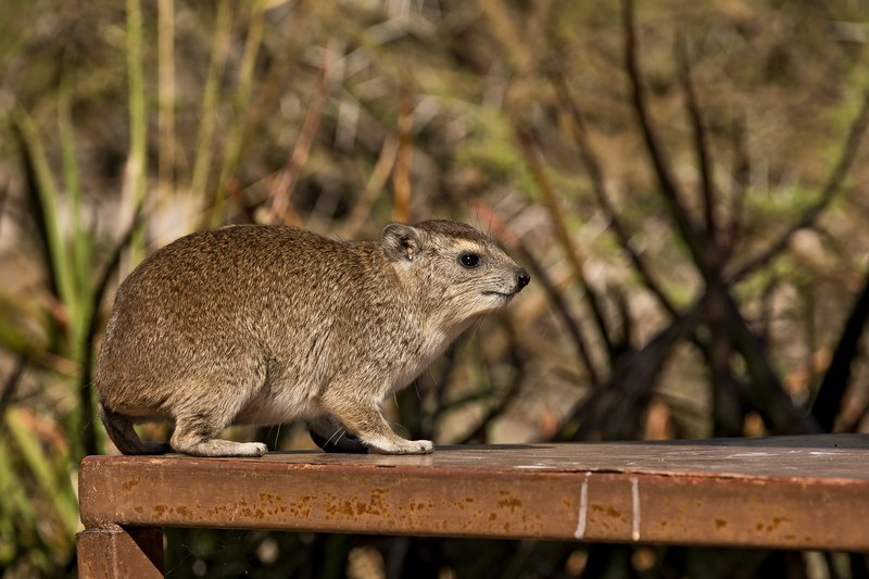 large_Hyrax__Rock_7.jpg