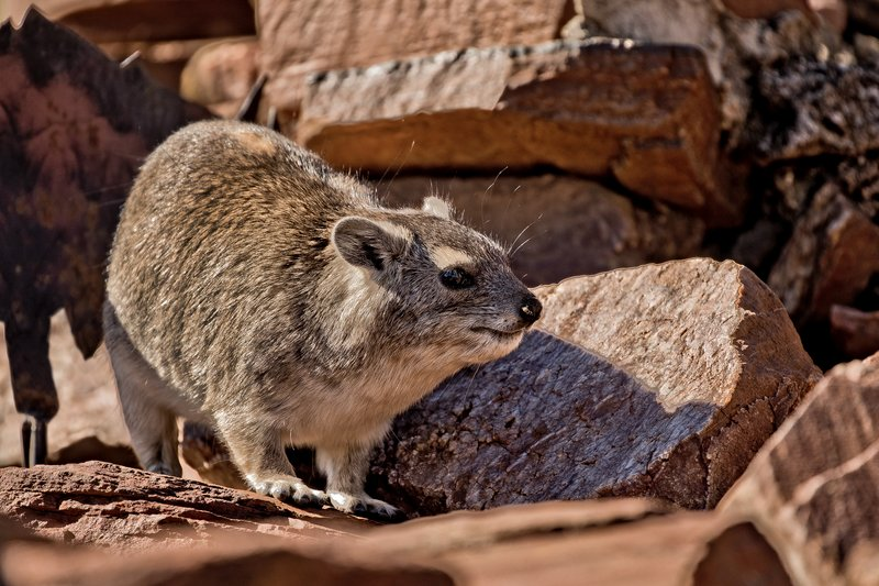 large_Hyrax__Rock_8.jpg