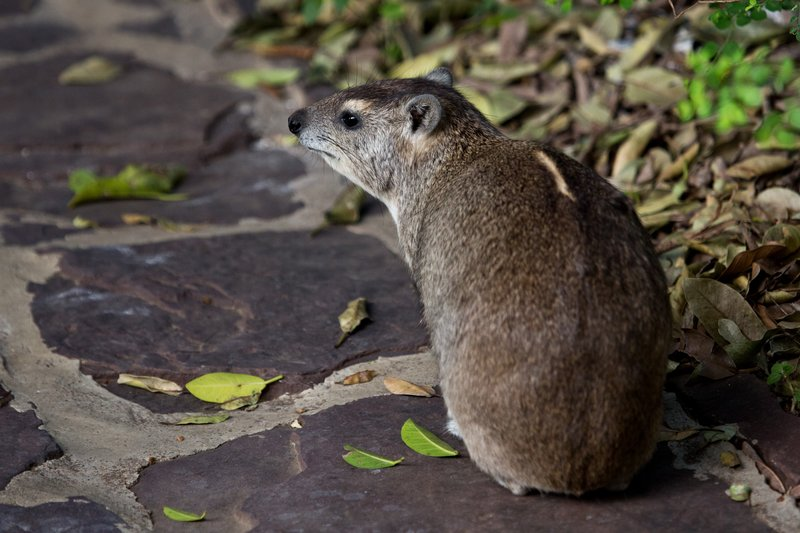 large_Hyrax__Tree_11-4.jpg