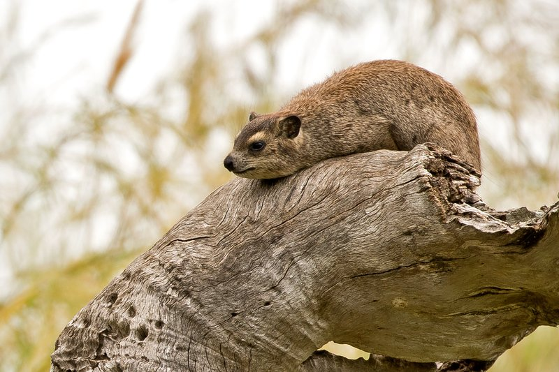 large_Hyrax__Tree_2.jpg