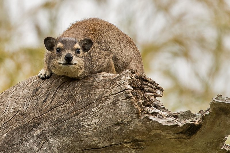 large_Hyrax__Tree_3.jpg