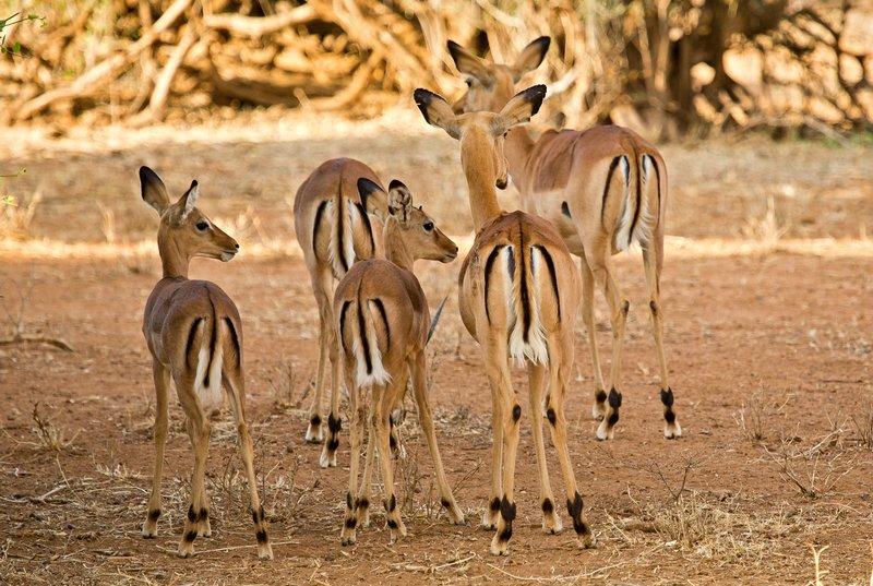 large_Impala_4.jpg