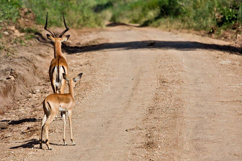 large_Impala_5-60.jpg