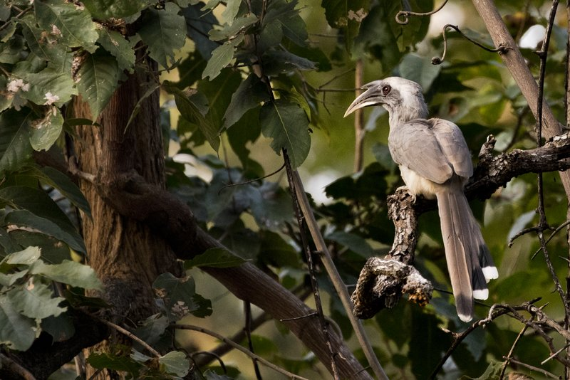large_Indian_Grey_Hornbill_62.jpg