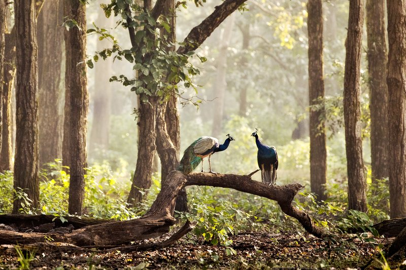 large_Indian_Peafowl_1.jpg