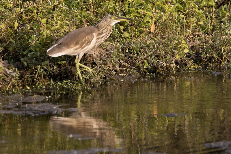 large_Indian_Pond_Heron_61.jpg