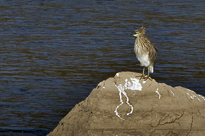 large_Indian_Pond_heron_53.jpg