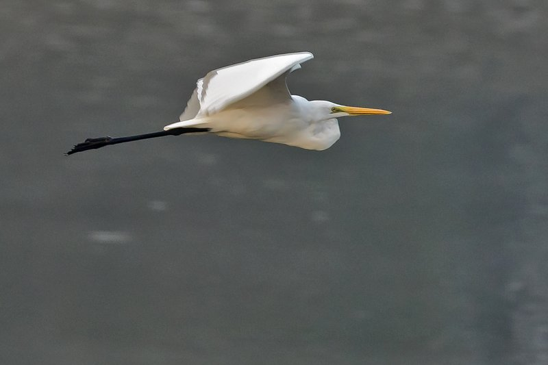 large_Intermediate_Egret_72.jpg